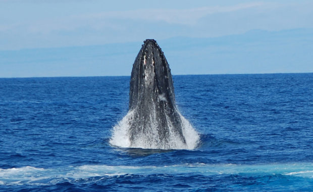 """Hawaii named one of the """"Top Whale-Watching destinations"""""""
